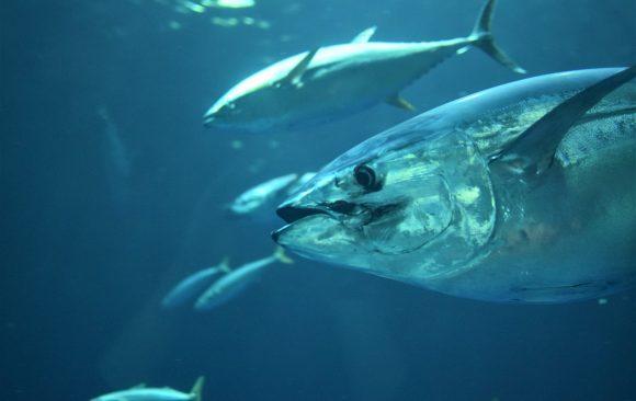 Great Tuna Race Simrad estará presente en toda la geografía española en 2021