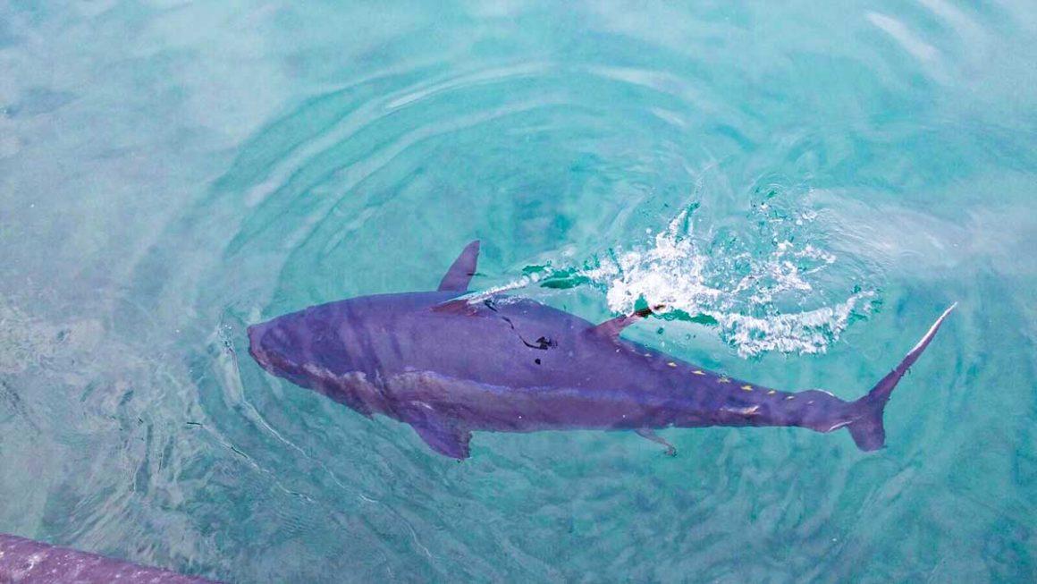 Se cierra de modo precautorio la pesquería recreativa del atún rojo