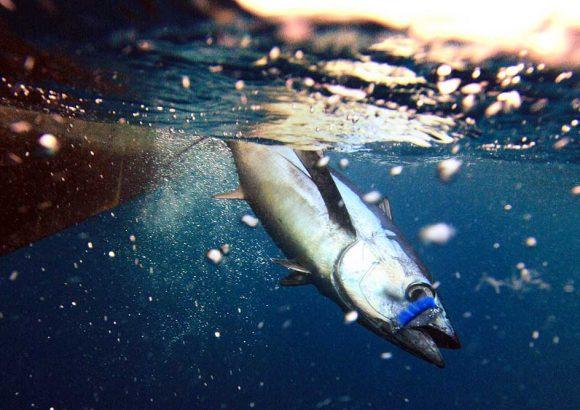 Cierre pesquería de atún blanco – albacoras